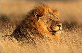 lion2-280x184
