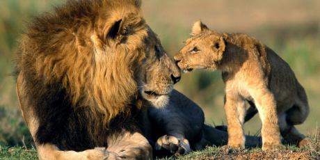 lion_and_his_cub_1440x900_1_460x230
