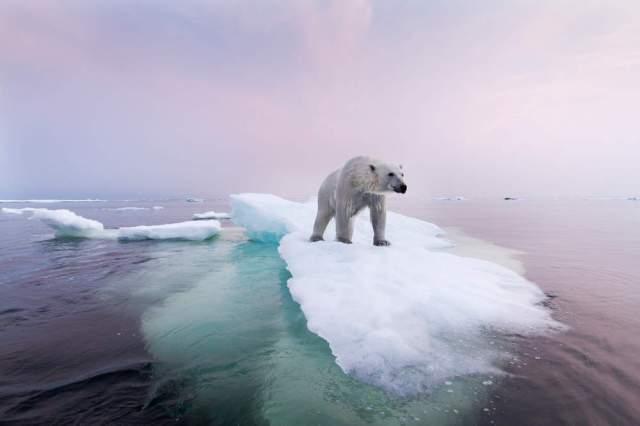 afonte-de-la-banquise-la-survie-de-l-ours-polaire-tient-a-une-fine-couche-de-glace