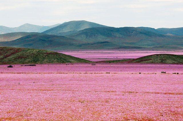 desert-atacama-fleurs-chili-1
