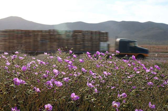 desert-atacama-fleurs-chili-7