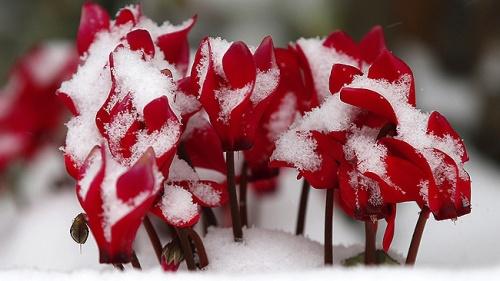 acyclamen neige