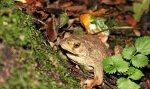 Après l'escargot à Plougastel le crapaud commun du polder brestois ! -- Il a beau être « commun », il devra faire l'objet d'un traitement particulier dans l'aménagement du polder brestois. Le crapaud commun est une des espèces à protéger sur le site. (Photo Leila Bizien - Bretagne Vivante)