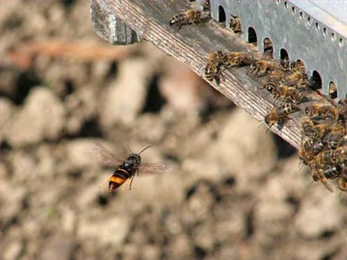 afrelon-asiatique-attaque-ruche-abeilles