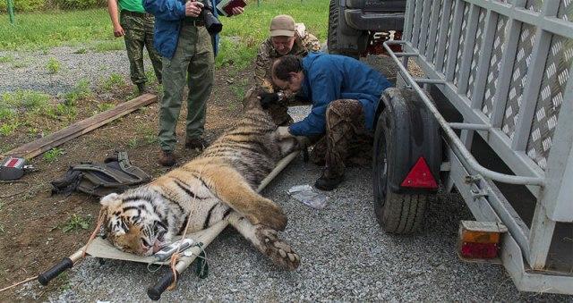 ANOTRE PLANETEintroduction-nature-tigre-Siberie-052014