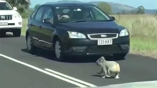 mais-que-fait-ce-koala-au-milieu-de-la-route-video