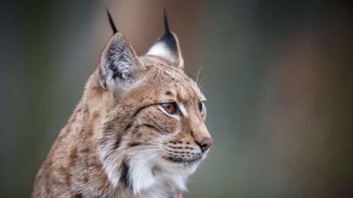 un-lynx-photographie-le-15-mars-2016-au-zoo-de-mulhouse_5612111