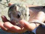 rat-kangourou