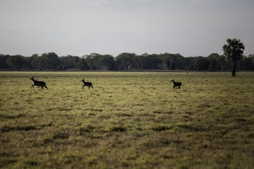 TO GO WITH AFP STORY EX GORONGOSA BY PIERRE DONADIEU Waterbucks run across floodplains on May 28, 2016 at the Gorongosa National Park in Gorongosa.  Passing through the aged faded gates into Gorongosa National Park, it's difficult to imagine you've just entered Mozambique's largest wildlife sanctuary. Bled dry by a long civil war that ravaged Mozambique from 1976 to 1992, the park has seen a remarkable turnaround in the last decade.  / AFP PHOTO / JOHN WESSELS