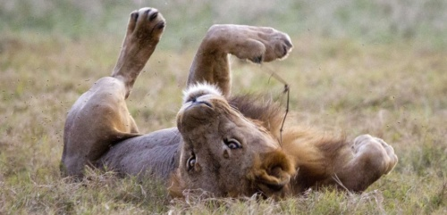 A lion named Nginga plays during an early evening on the flood plain. (Photo by Katherine Jones/Idaho Statesman/TNS/Sipa USA)/sipausa.sipausa_14270675/*** World Rights *** US Newspapers Out ***/1410201836