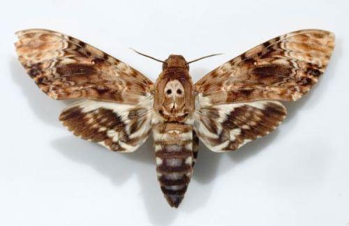 sphinxpapillon-49