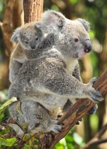 WHV_PVT_Australie_Koala-576x800