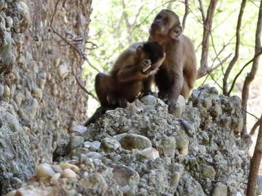 5016656_6_40e6_un-jeune-singe-capucin-bresilien-utilise-un_2a817a6090d801fdcad4eb8311331f72