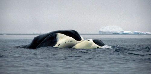 baline-borealer-r4x3w1000-57df6a4be7d99-le-decryptage-du-genome-de-la-baleine-boreale-explique
