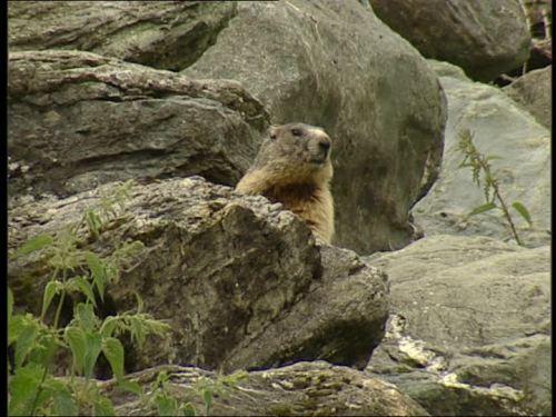 marmotte313701327-virgental-marmotte-hohe-tauern-observer