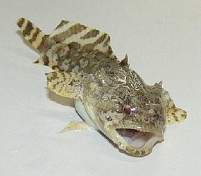 poisson-crapaud
