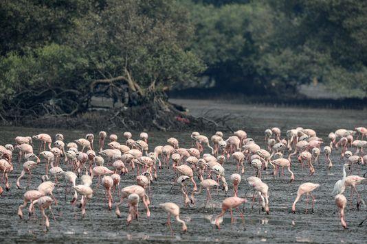 5029364_7_ec8f_flamants-roses-faisant-halte-dans-la-mangrove_667c5518bc72e136287edcd9b4a8b61e