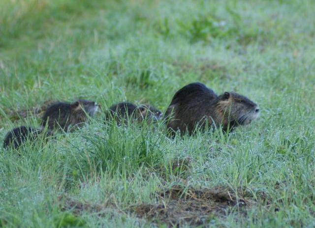 colonie de ragondins