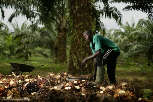 Worker in a smallholder oil palm plantation in Apouh, Cameroon. Expansion of industrial palm oil concessions is threatening local livelihood.