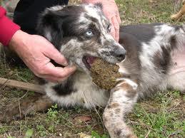 chien-truffier