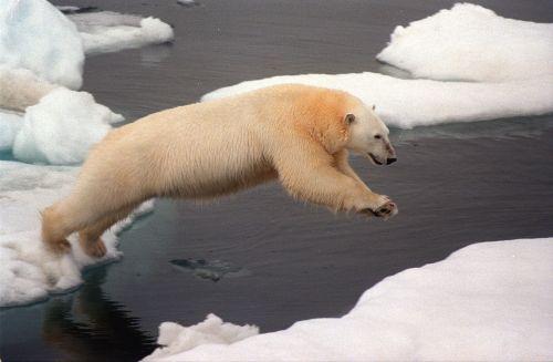 19990721: Chuckchi Sea, Arctic Ocean Description : Polar bear on iceflow, Chuckchi Sea. Date Created : 1999-07-21 Resource ID : 36802