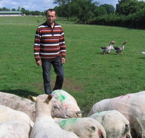 Lo�c Rochard, �leveur ovins et volailles bio � Genneton, parmi ses moutons.