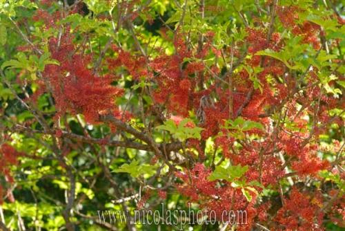 Geissois racemosa. Cunoniaceae. Faux tamanou.  Forêt humide. Chaîne centrale. Province nord. Nouvelle-Calédonie.