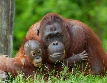 sauvez-les-grands-singes-de-malaisie_42647083_1