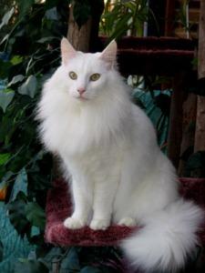 chatangora-blanc