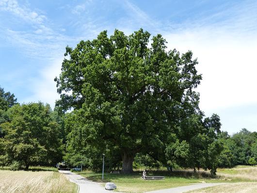 Botanique – Science : A Lausanne, le chêne de Napoléon dévoile les secrets de son ADN  Le-temps-chene-napo-finfile6xu8wi9wskm1cw0oqmbf-jpg
