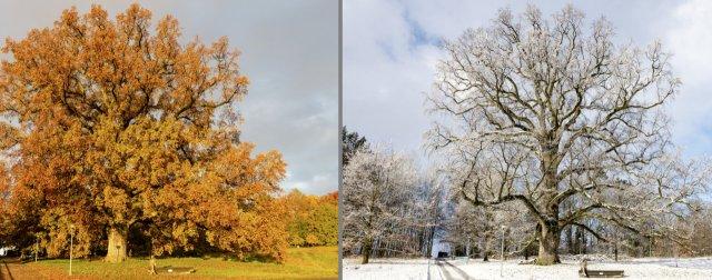 Botanique – Science : A Lausanne, le chêne de Napoléon dévoile les secrets de son ADN  Le-temps-chene-napolc3a9onfile6xuaxidvlnrz93nambf