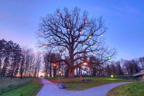 Botanique – Science : A Lausanne, le chêne de Napoléon dévoile les secrets de son ADN  Le-teps-chene-napo-illuminc3a9file6xucqcpjv8w1at0evmb5